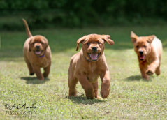 Click to Enlarge - Fox Red Labrador Retriever Pup