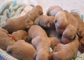 Upcoming Fox Red Lab Litters