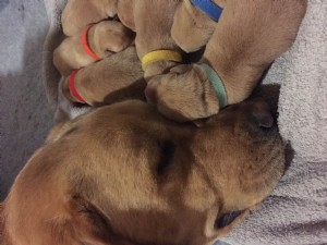 Some of our Fox Red Labrador Retriever puppies